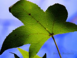 Sweet Gum Leaf by DecThePixter