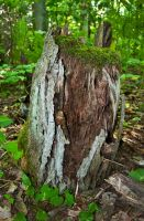 Old rotting tree stump by avyva