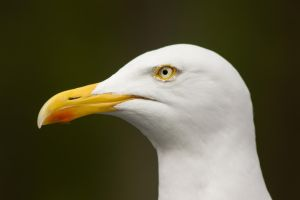 White gull by D-Maxey
