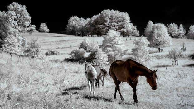 Horses by vw1956