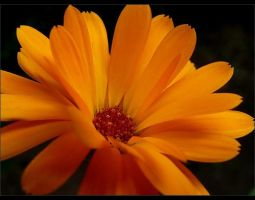 Orange flower by 0pen-y0ur-eyes