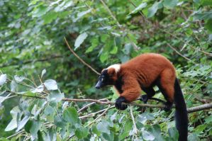 Red ruff lemur 1 by hannahMCx
