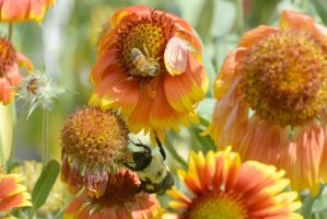 The Big Fuzzy Bumble,Little Fuzzy Bee In Flowers2 by Miss-Tbones