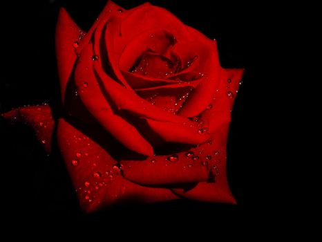RED ROSE by BASM