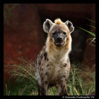 Hyena II by TVD-Photography