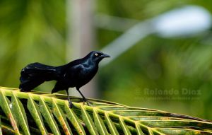 Greater Antillean Grackle by lycanshinobi