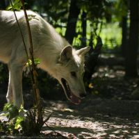 The Big Bad Wolf ? by sekhmet-neseret