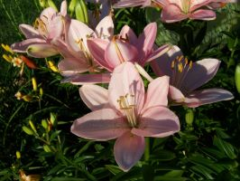 Pink Asiatic Lily 9 by racheltorres921