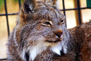 Canadian Lynx by Riphath