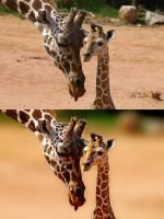 Giraffe family before and afte by valkyrjan