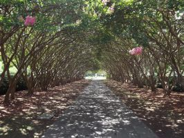 Crape Myrtle Allee by 12redroses