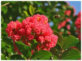 Crape Myrtle with Bee 2 by shawn529