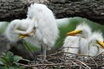 Great Egret babies by Fail-Avenger