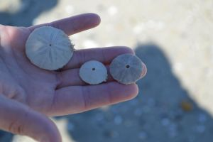 Sand Dollar Trio by That-Photographer