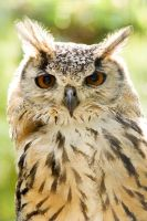 Indian Eagle Owl by h-e-photography