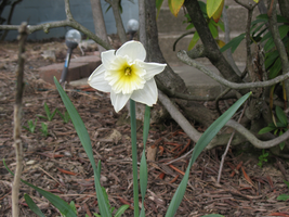 Daffodil by WDWParksGal-Stock