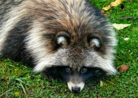 Raccoon Dog - such a cute face :3 by TheFunnySpider