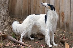 I'm a Borzoi and I know it! by FeralWhippet