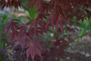 Maple Leaves by N3cromancy