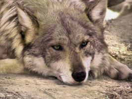 ALZ Apr5: Mexican Wolf 1 by FamilyCanidae