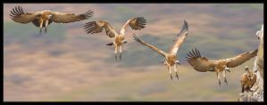 Cape Vulture Landing by MrStickman