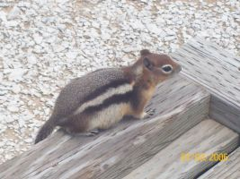LOLchipmunk. by littlerobott
