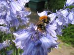 Bee meets Bluebell by MrMicawber