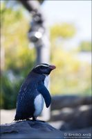 Fiordland Crested Penguin - 01 by shiroang