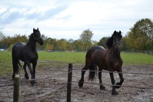 2 Friends*friesian stock 2* by horse-power