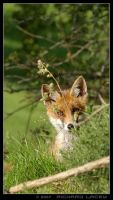 The Shy Little Fox by RichyX83