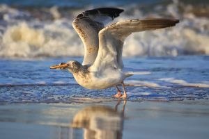 Seagull by JoostvanD