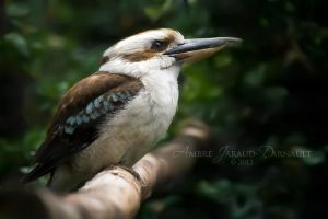 Laughing Kookaburra by darkcalypso