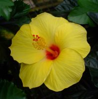 Yellow Hibiscus by EruwaedhielElleth