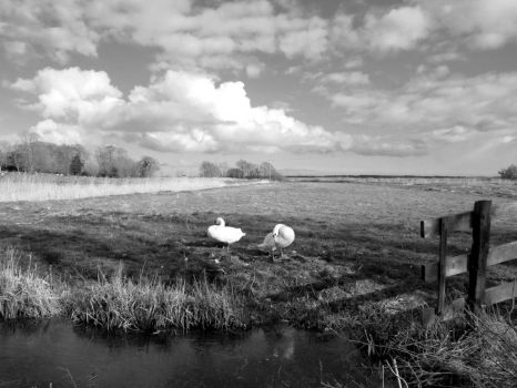 Clouds and Swans in Reedham by cloud-chaser