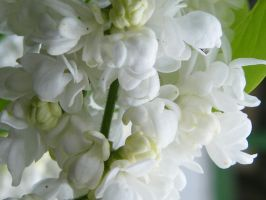 white lilac closeup 01 by mimustock