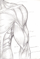Left Arm Muscles- Anatomy by tedmo