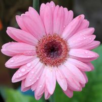 Gerber Daisy - Stock by Thy-Darkest-Hour