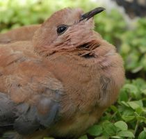 Chick Dove 1 by M3los93