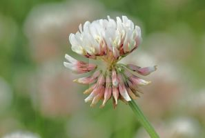white clover... by clochartist-photo