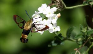 Bee Hawk Moth....ahh er...Snowberry Clearwing by Bella-Kunst