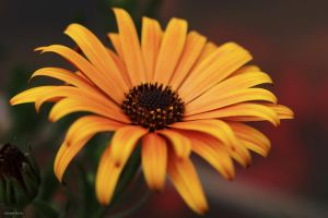 Cape daisy by George---Kirk