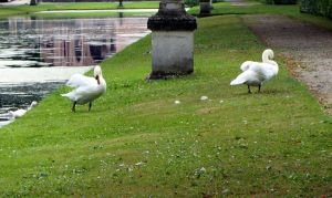 Swans IV by Gwendolyn12-stock