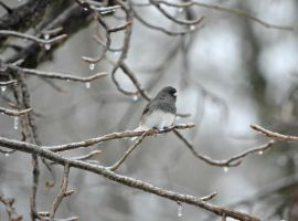 Winter Junco by jennalynnrichards