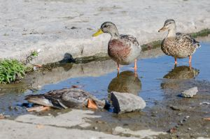 Ducks mourn the death of a loved one. by GuillaumGibault