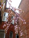 Plum Tree Spring 5 by LordNobleheart