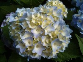 Sweet hydrangea 2 by JanuaryGuest