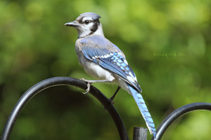 Brown Eyed Blue Feathered by verybluebird