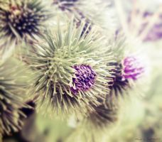 Thistle by JustMe255
