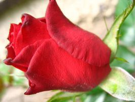 Red passion by santule