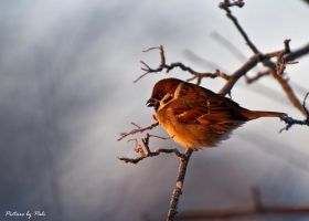 Sparrow in sunrise by PictureByPali